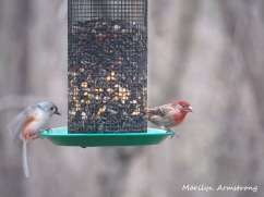 300-house-finch-titmouse-birds_two_03062020_072