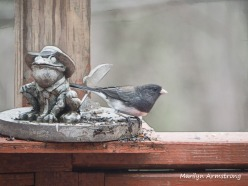 300-junco-toad-snow-birds_03202020_006