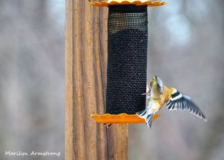 300-landing-early-goldfinch-03032020_008