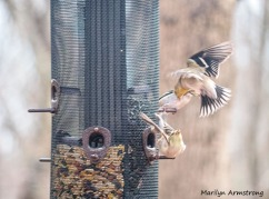 300-macro-flying-finches-4_03142020_002