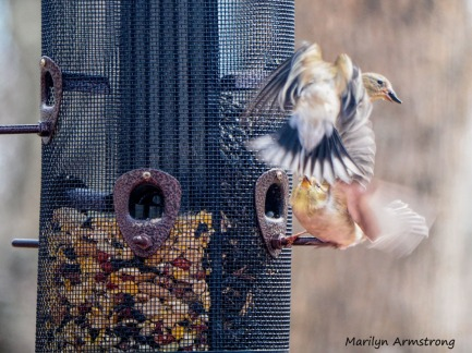 More flapping Goldfinches