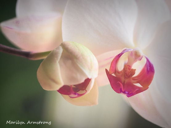 300-macro-four-orchids_03032020_201
