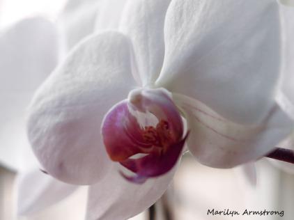 300-orchids_four_03042020_002