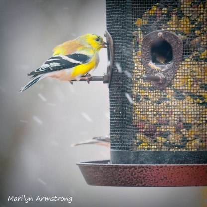 300-square-3-goldfinches-snow-birds_03202020_056