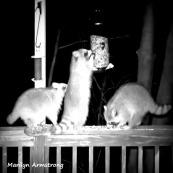 300-Square-BW-Raccoons-Ten_03172020_0273