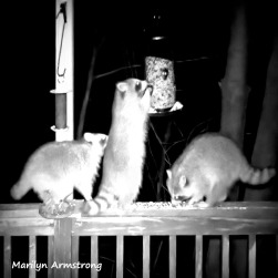 300-Square-BW-Raccoons-Ten_03172020_0273
