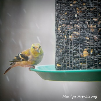 300-square-goldfinch-snow-birds_-03232020_053