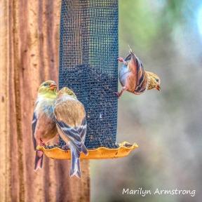 300-square-goldfinches-snow-birds_03202020_037