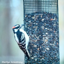 300-square-hairy-woodpecker-0318_03172020_223