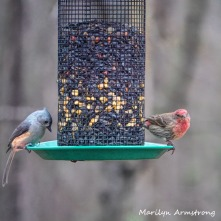 300-square-house-finch-titmouse-birds_two_03062020_073