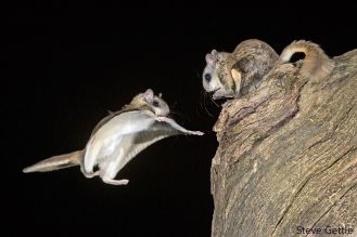 even more flying squirrels