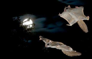 Gliding flying squirrels
