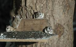 nightly visits of flying squirrels
