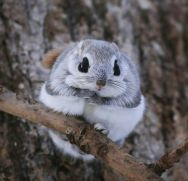 White flying squirrel