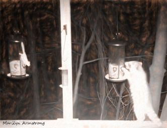 A hungry raccoon and a flying squirrel