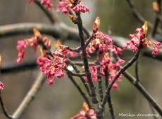 180-Maple-Flowers_04212020_004