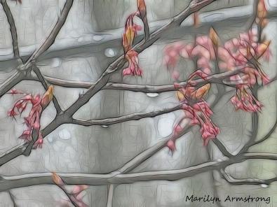 180-Maple-Flowers_04212020_011