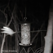 180-Square-Flying-Squirrel_040704082020_484