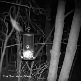 180-Square-Flying-Squirrels_04252025_613