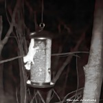 180-Square-Two-Flying-Squirrels_0407-04072020_457