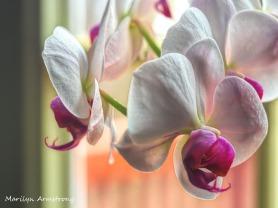 Macro Orchids