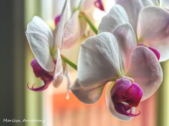 Macro Orchids