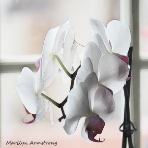 Square orchids