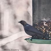 Young but full-grown Cowbird