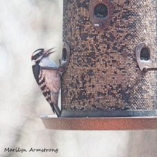 300-square-downy-woodpecker_04142020_004