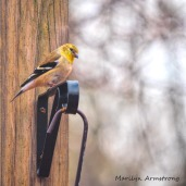 High up on the hanger, the bright Goldfinch sits, bright as a sunbeam.