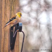 300-square-early-goldfinch-03032020_038