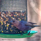 Close-up Brown-headed Cowbird. Note the Evil Eye.