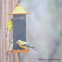 00-square-goldfinches_04132020_034