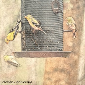 300-square-sketch-bkbinder-goldfinches_04112020_new-117