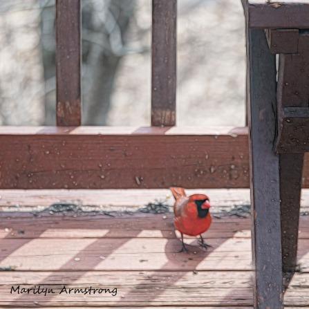 Cardinal on deck