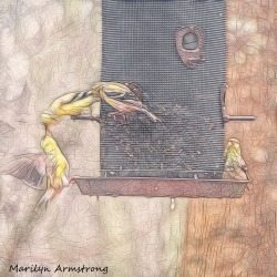 300-square-sketch-goldfinches_04132020_115