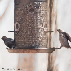 300-square-two-brown-headed-cowbirds_04192020_085