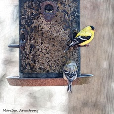 300-square-two-goldfinch_04192020_056