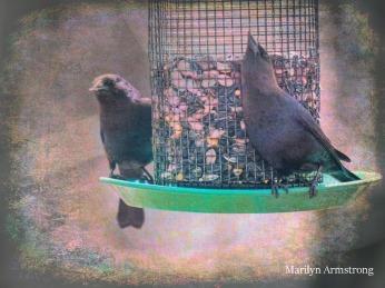 300-two-brown-headed-cowbird_04172020_025