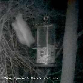 96-Flying-Squirrel-03082020_106