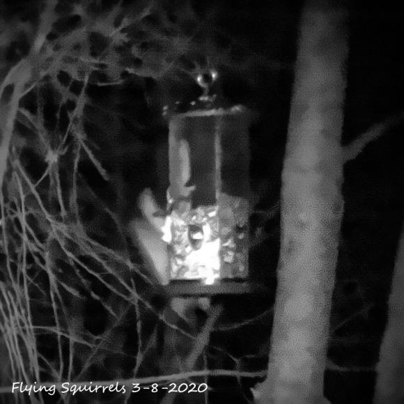 96-Flying-Squirrels-03082020_103