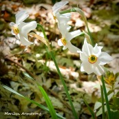 180-Narcissus-May-Garden-052020_016