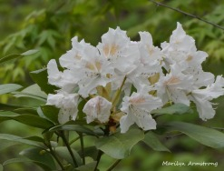 180-New-Rhododendrons-051820_004