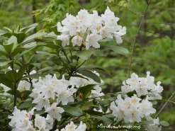 180-New-Rhododendrons-051820_005