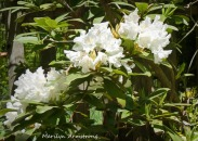 180-Rhododendron-May-Garden-052020_022