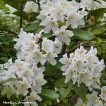 180-Rhododendrons-051820_001