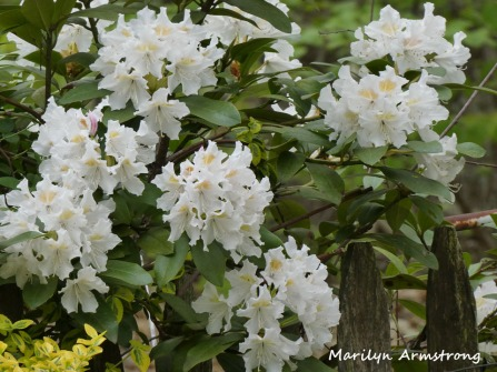 180-Rhododendrons-051820_006