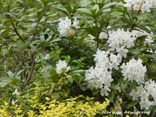 180-Rhododendrons-051820_009
