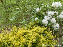 180-Rhododendrons-051820_011