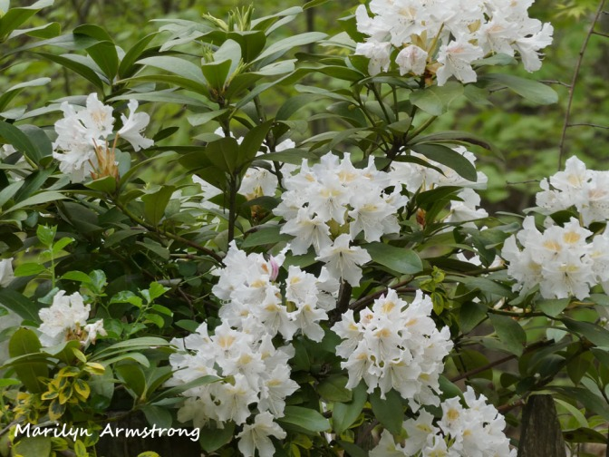 180-Rhododendrons-051820_012